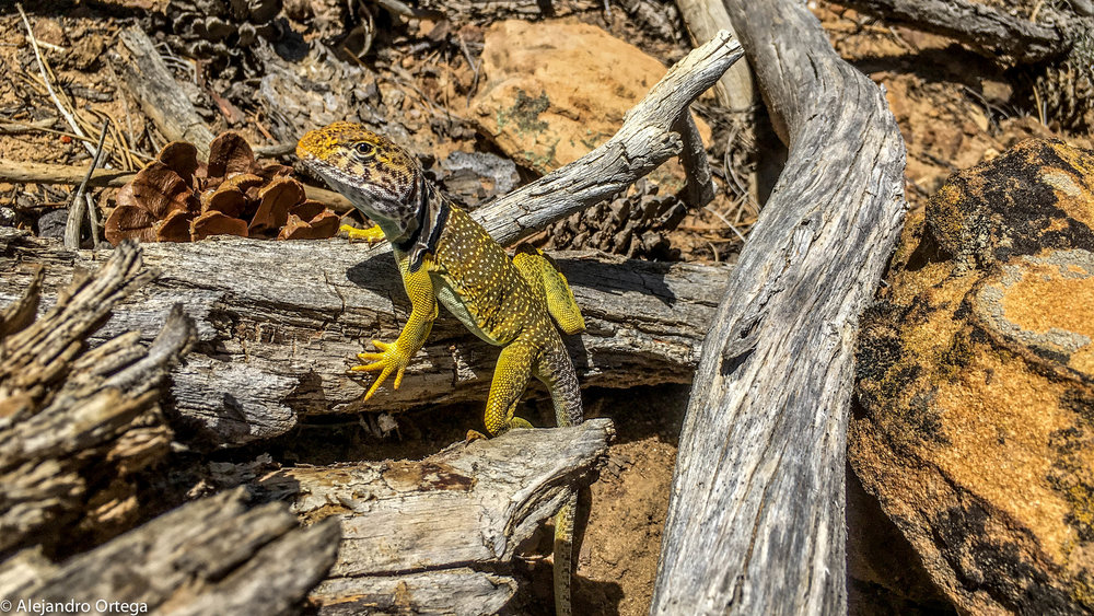 Sonoran collared lizard (Crotaphytus nebrius)