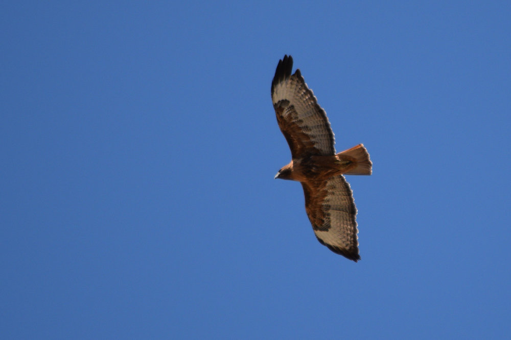 Red-tailed Hawk Rufous morph (Buteo jamaicensis)