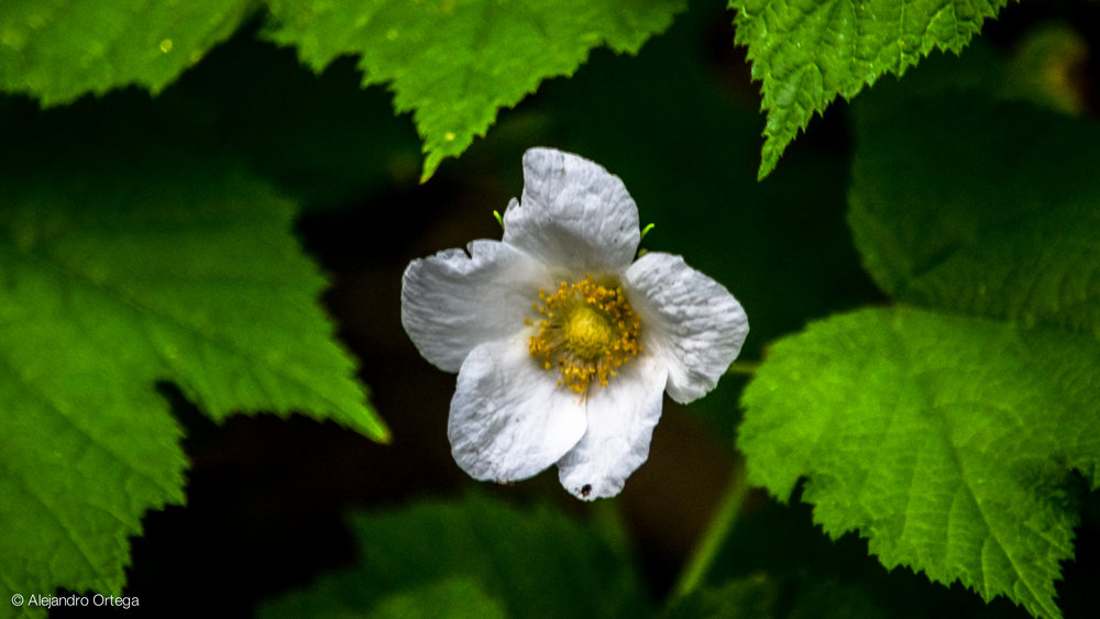New Mexico raspberry (Rubus neomexicanus)