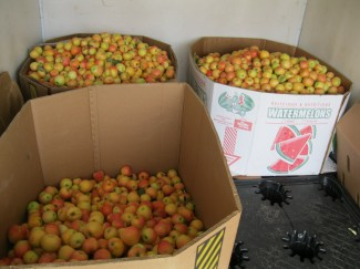The fruits of our labor: freshly picked apples, ready to get distributed to local communities.