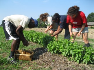 Apprentices harvesting basil for the jam from our Teaching Farm