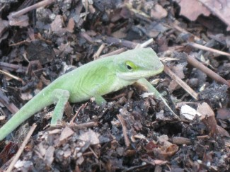 Loyal garden volunteer and teen, Julian, proved to be quite the lizard expert, identifying it and informing us all why it changed from brown to bright green and back to brown.