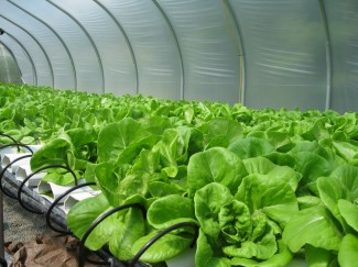 Butterhead Living Lettuce grows inside their 1500 sq. ft. greenhouse, where a computer system measures the pH and fertilizer level in the water as well as the electroconductivity.