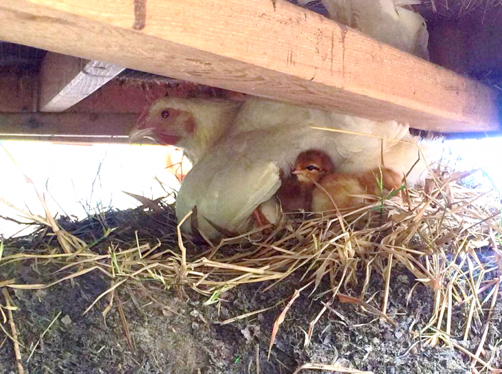Baby Chicks hatch at Tryon Road Teaching Farm