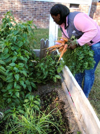 Intern LaDajia Phillips harvests carrots at Langley Garden