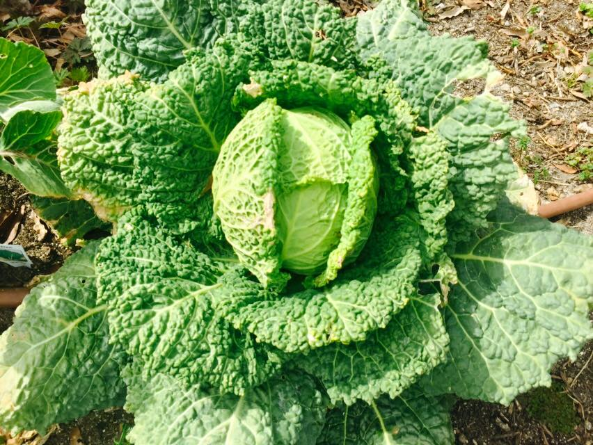 cabbage at camden street learning garden.jpg