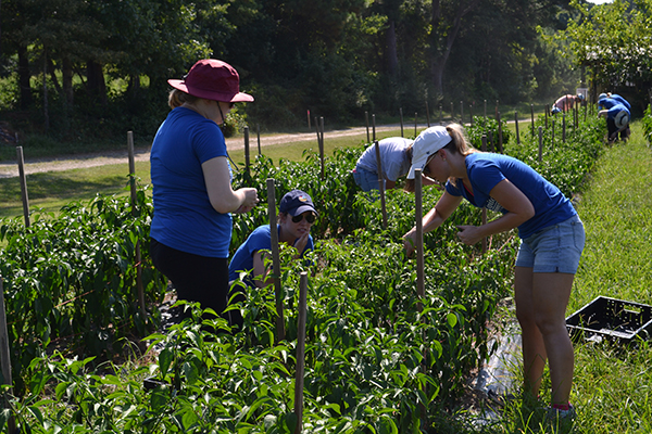 Capitol Women's Network members pick peppers at the Inter-Faith Food Shuttle Teaching Farm during their morning of service on Thursday, July 13, 2017.
