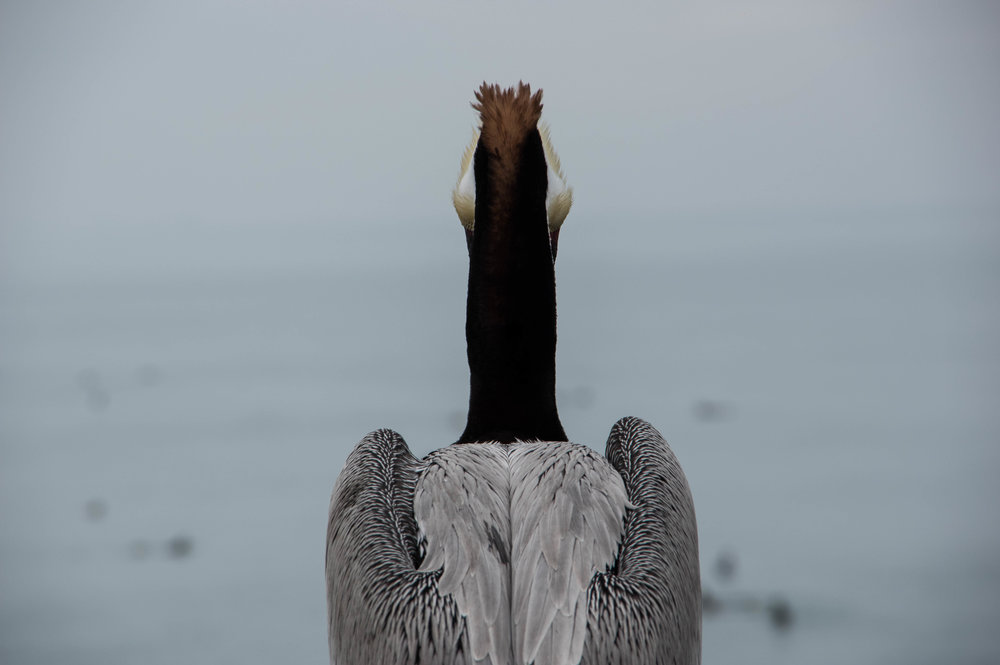 Pelican 1.jpg