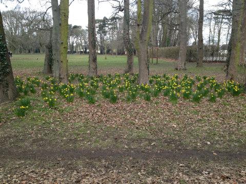 Sunshine daffodils