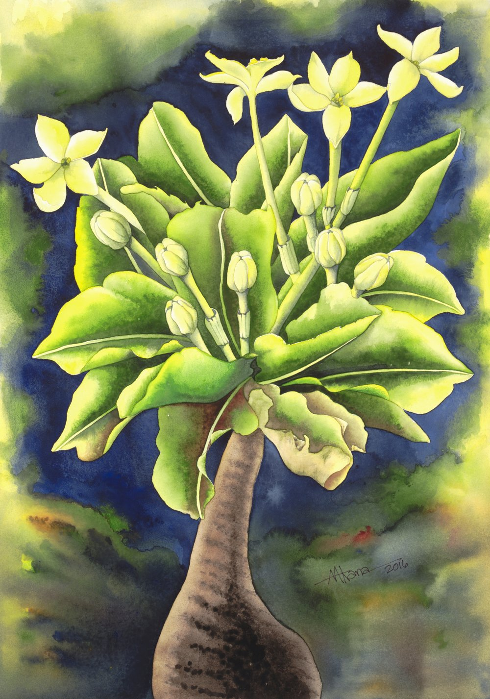 Alula   Brighamia insignis   Alula were once found on the windswept sea cliffs of Niihau and Kauai and are now believed to be extinct in the wild, except for one remaining plant (as of 2016), clinging to the high cliffs of the Na Pali Coast on Kauai.  It can grow up to 16 feet tall, with leaves and flowers growing only at the top of the plant, forming a large rounded rosette which can grow to 3 feet in diameter.
