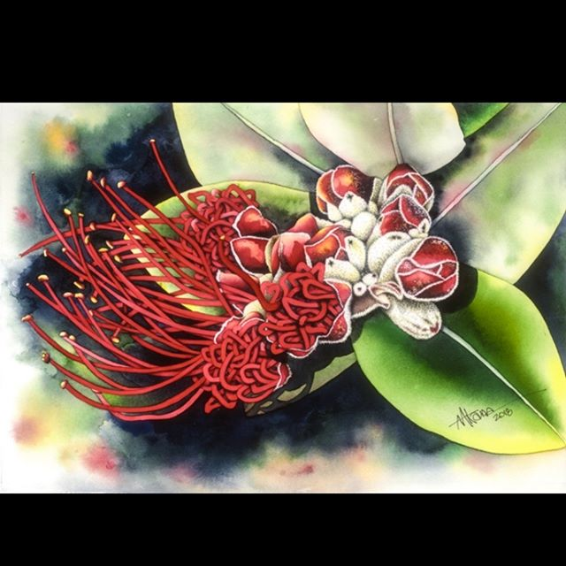 Aloha! Presenting his latest piece... the`ōhi`a lehua, yet another striking watercolor by Alan Akana, celebrating the beauty of the flowers found in Hawai`i!  Come visit us at the gallery Sun-Thurs from 1:00-5:00 p.m., or by appointment, to view all of Alan's brilliant floral watercolors!  Mahalo nui! 🌺 #kauai #koloa #hawaiianflowers #watercolors