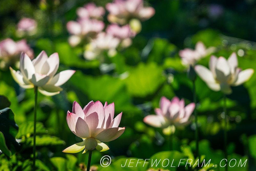 A_Lotus_AquaticGardens.jpg