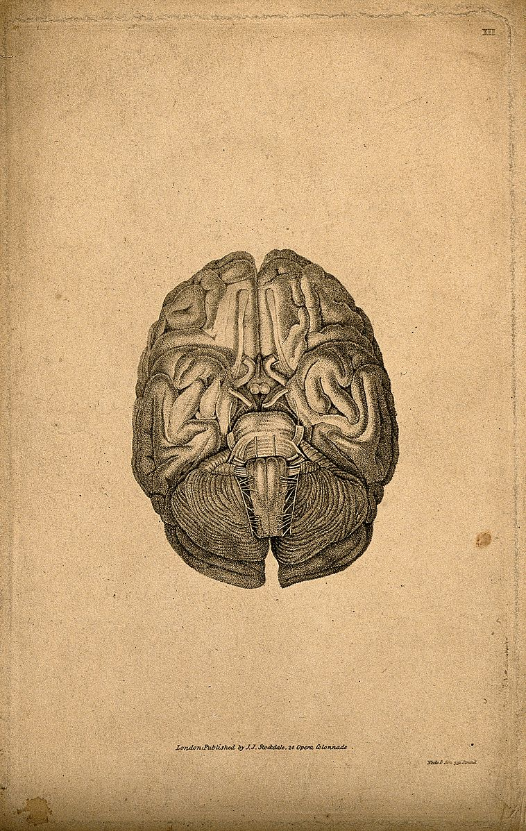 Base of the brain. Stipple engraving by Neele & Son, 1810/18