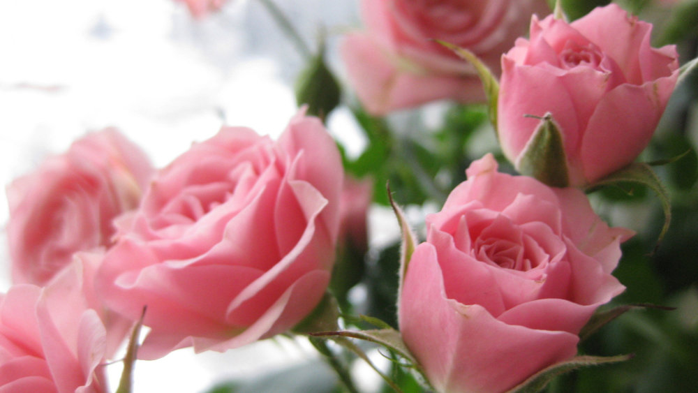 Image: Pink roses courtesy of Sacristies of the World.
