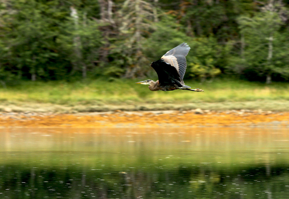 Heron's Flight.jpg