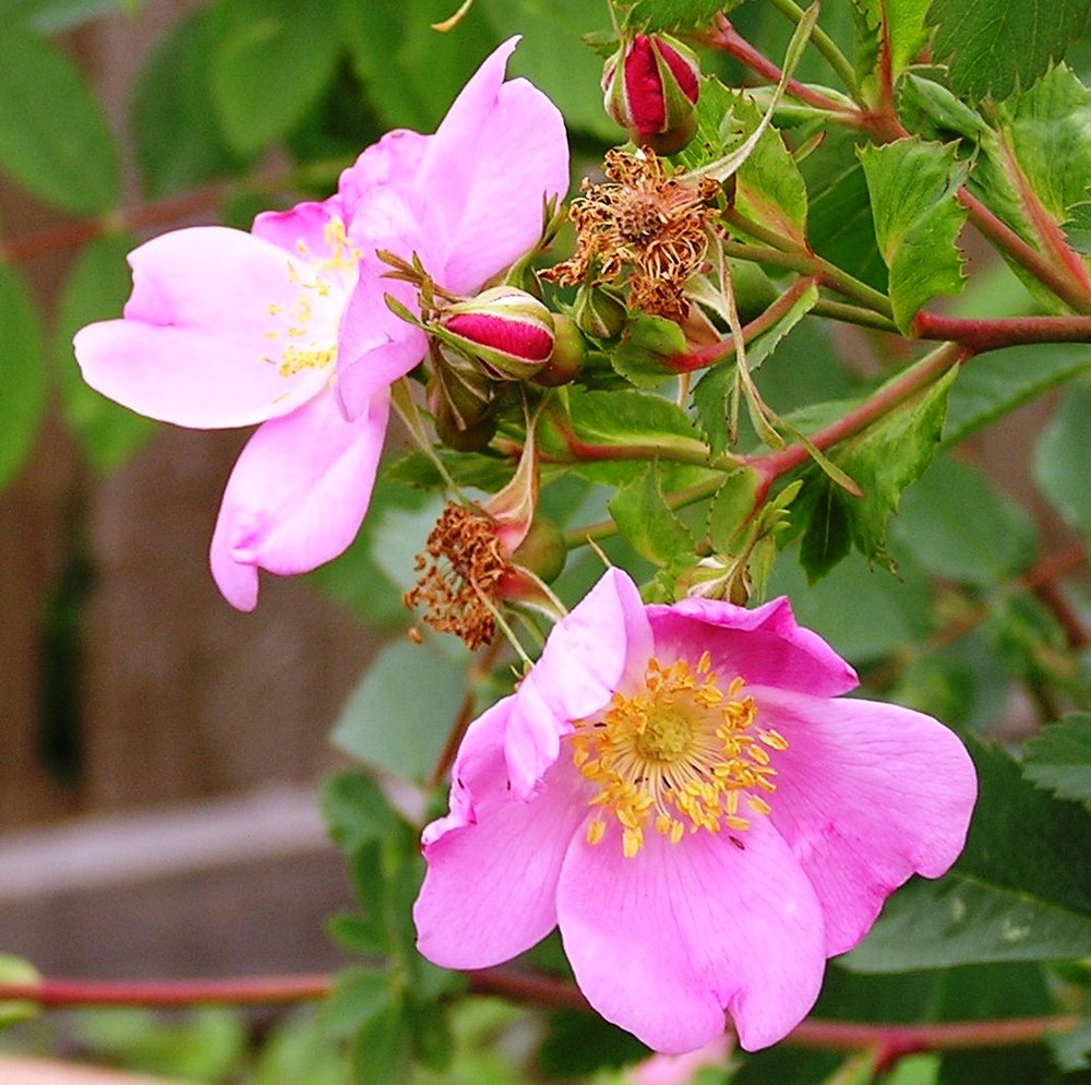 Woods Rose