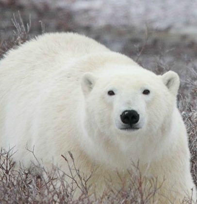 Polar Bear Tours in Churchill   MLive.com