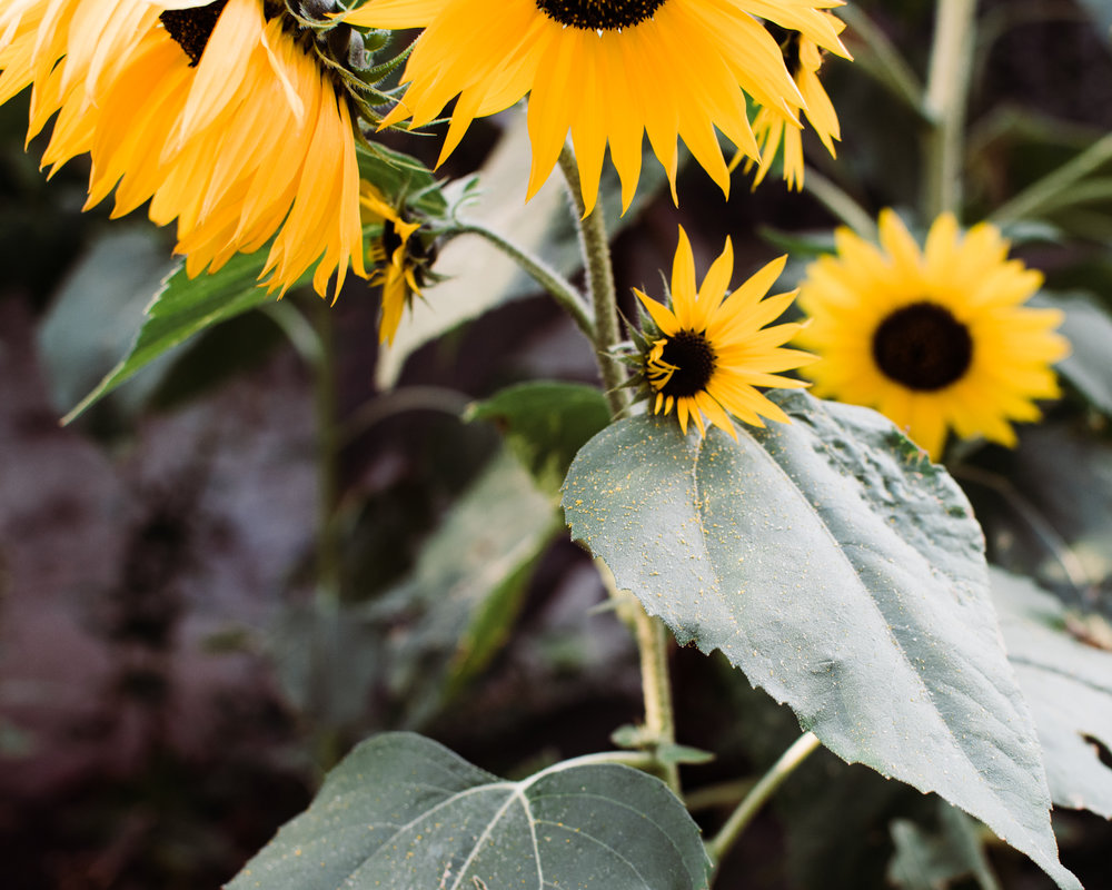 sun flowers - style apotheca