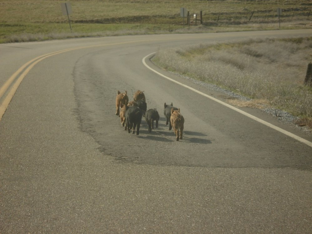 piggies on the road.jpg