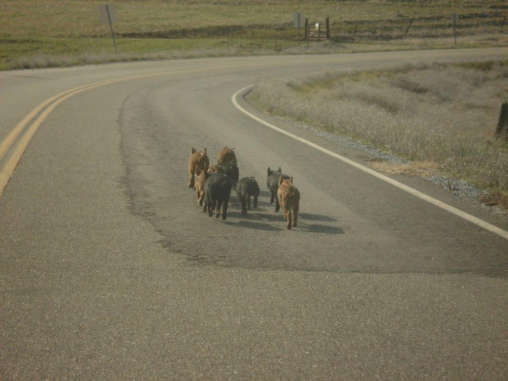 piggies on the road.jpg