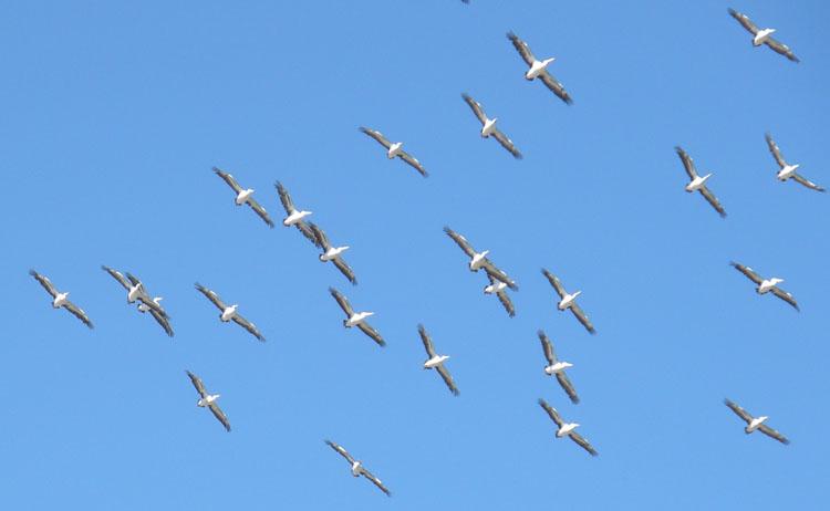 Pelicans at Parnka Point.