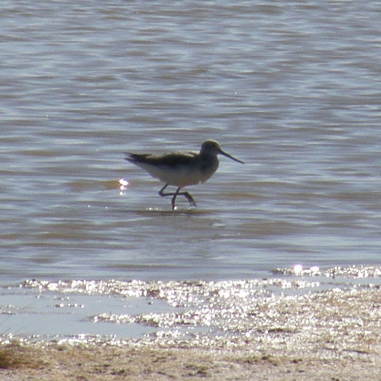 Bar-tailed Godwit at Jack's Point.