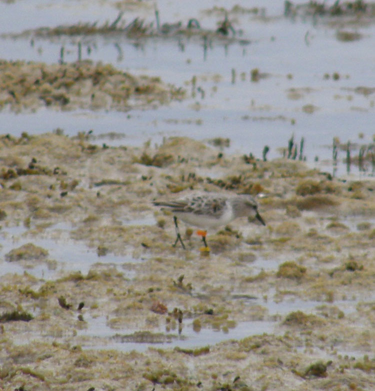 Red-necked stint, showing 'fla. This combination shows the bird was first banded in South Australia.