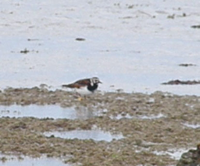 Ruddy Turnstone with breeding plummage.