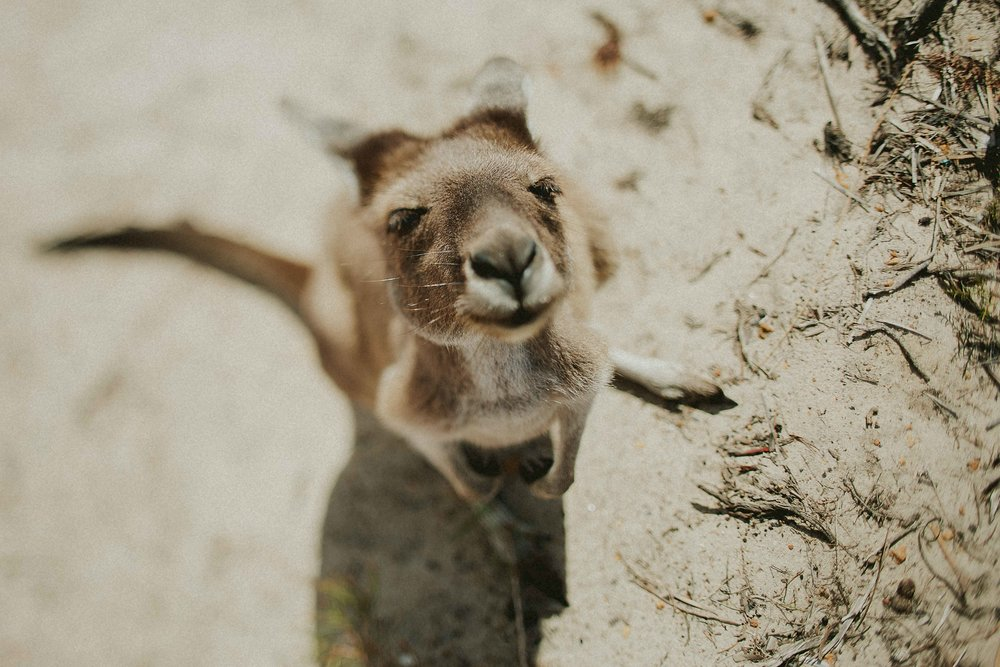 Kangaroo | Cape Le Grand, Western Australia | February 2017