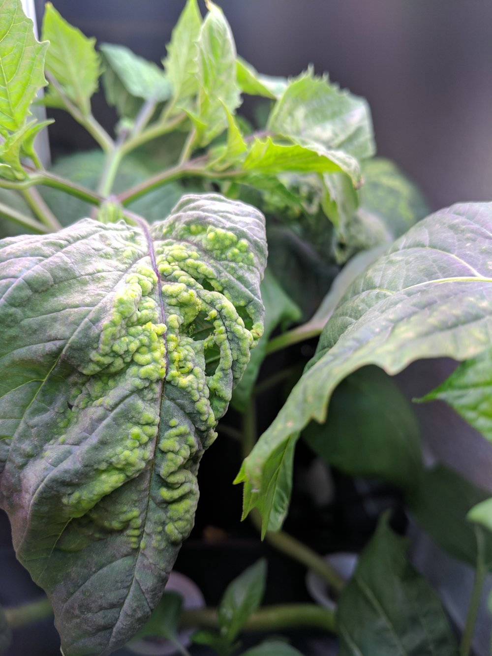WTF is happening to my tomatillos???