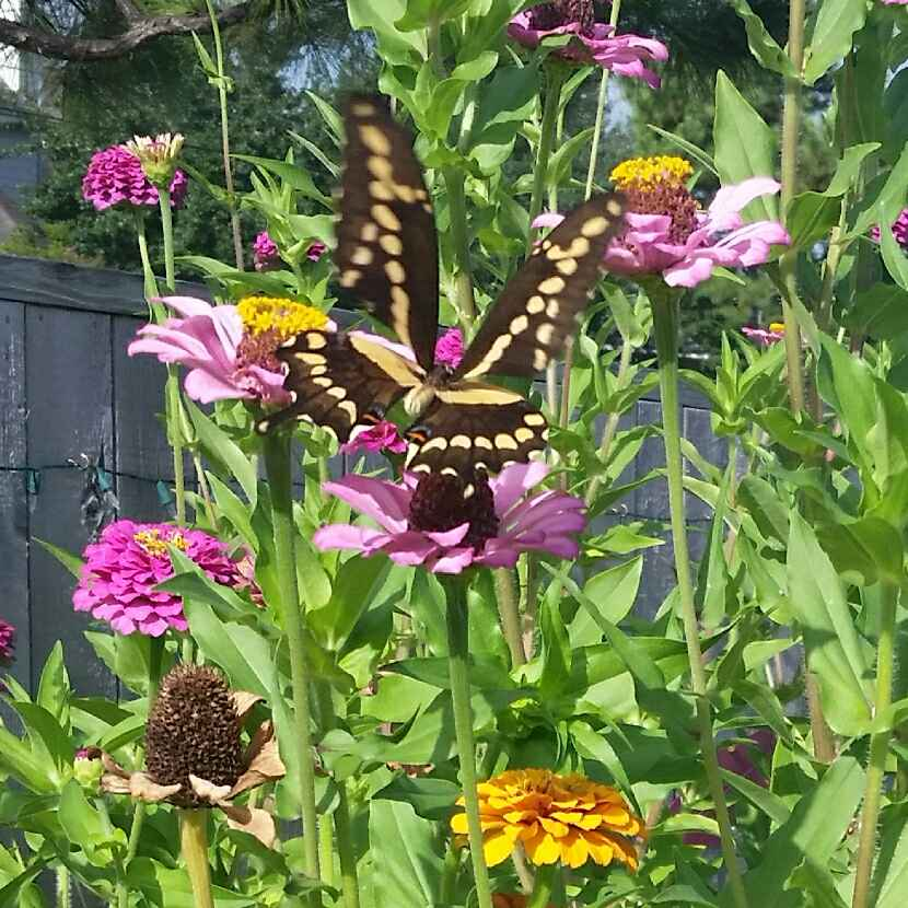 Don't think about the snakes... look at this beautiful butterfly in Mama Yardful's zinnias - they get over six feet tall each year (the zinnias, not the butterflies) and are great at attracting pollinators! When they get too tall and start to fall over, she cuts them and brings them inside to brighten her house!