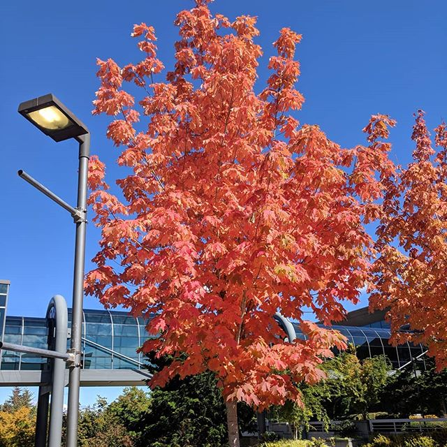 The beauty of fall snuck up on me earlier at work this week. This is one of my favorite seasons in northern states, and not just because I fell in love this time of year seven years ago. 💛  yardlessinseattle.com  #fall #autumn #orangeleaves #happyanniversary