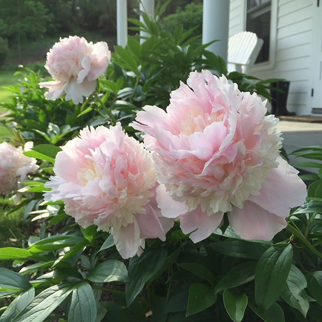 NO FILTER! It is peonies time- majestic, fragrant, ephemeral, making all farmers happy😍 #peonies #flowerpower🌸  #fragranceoftheday #farmhousestyle #dutchesscounty #hudsonvalley