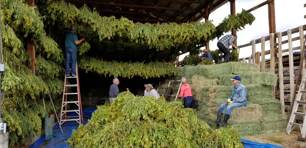 Hemp Harvest 2018 - Collective harvest with Boulder Hemp Farm, Hemp Quest Ventures and Hemp Spirit Extracts. Being of service to a family farm in Colorado. Regenerating communities, families, and mother earth with the plant spirit.