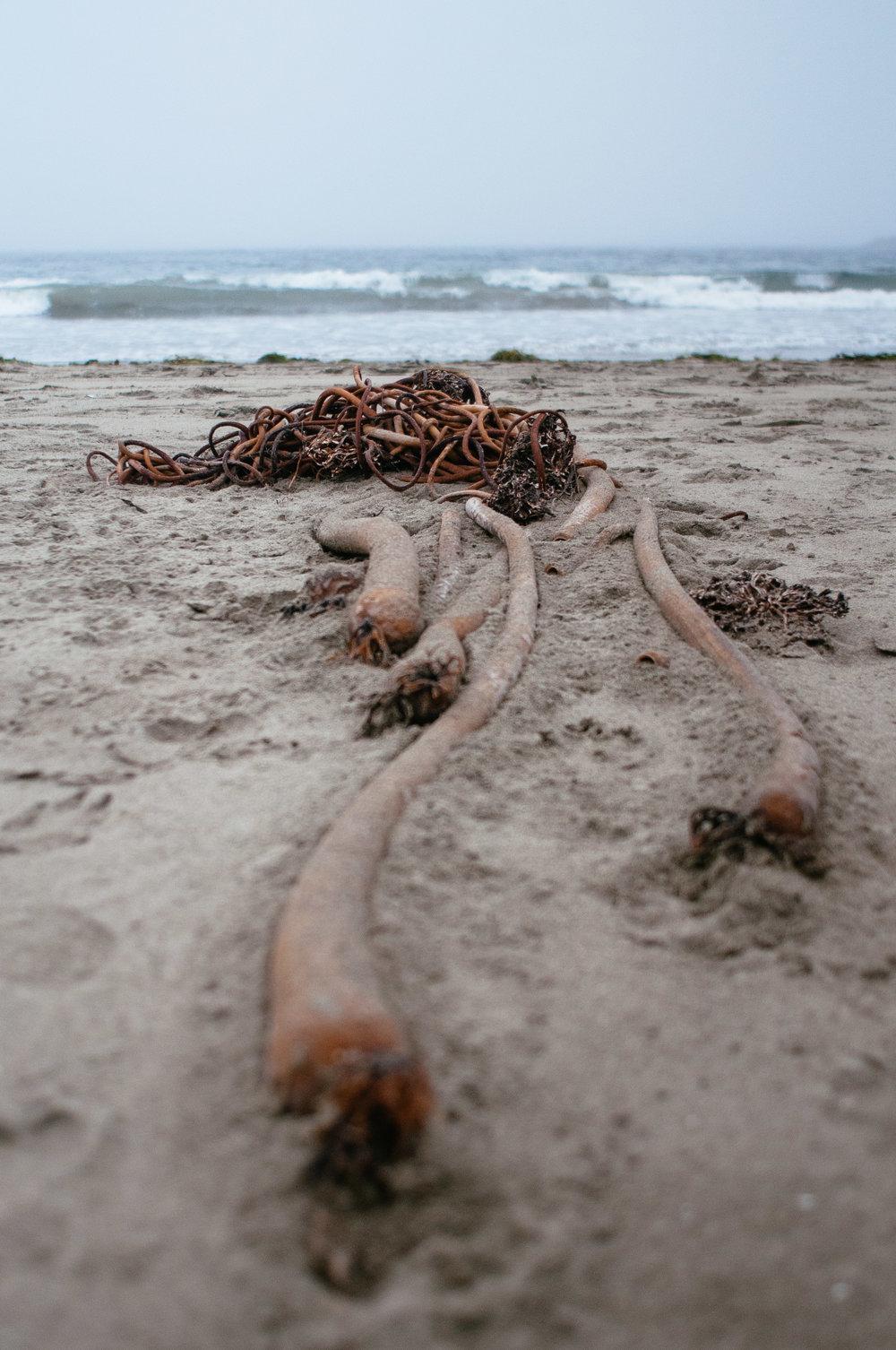tofino-bull-kelp.jpg