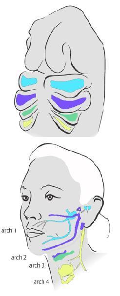 Veel organen in het hoofd en de hals van landdieren (zoals de mens) ontstaan uit een verbouwing van de embryonale kieuwbogen.Zie  hier  een animatie van het embryonale gezicht in ontwikkeling.
