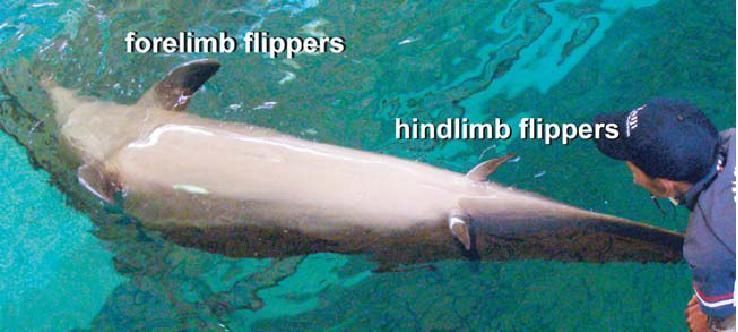 Een atavisme bij de dolfijn: vinvormige achterpootjes.