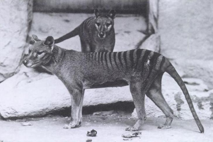 De buidelwolf of Tasmaanse tijger ( Thylacinus cynocephalus ) kwam van nature voor in Tasmanië (Australië). Het buideldier is uitgestorven en geheel geen familie van de wolf of de tijger.