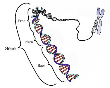 Genen zijn delen van het DNA, het hoofdbestanddeel van de chromosomen in de cel.