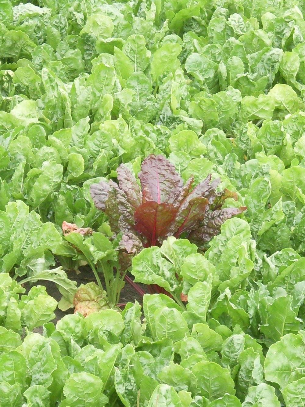 Afwijkende plant in een suikerbietenveld.
