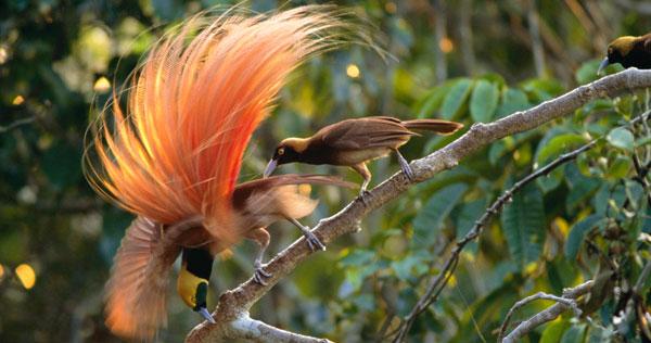 Paradijsvogel (mannetje en vrouwtje)