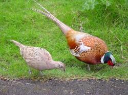 Fazant (mannetje en vrouwtje)