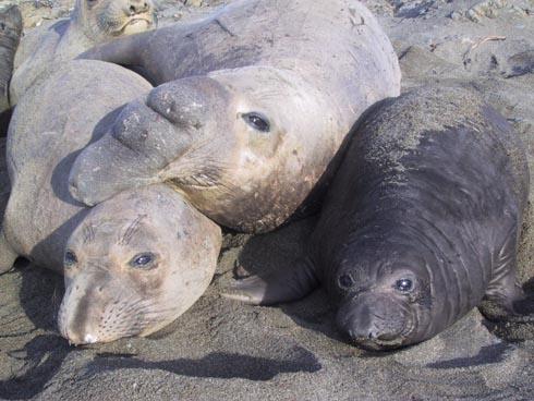 Zeeolifant (mannetje en vrouwtje)