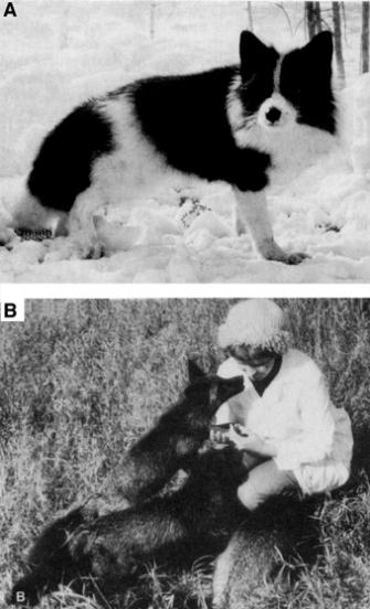 De zilvervossen van Belyaev leken na selectie (A) eerder op honden dan op hun voorouders (B).