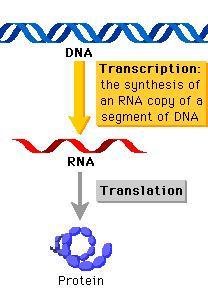 Cellen maken hun eiwitten (proteïnen) in twee stappen: door transcriptie van DNA in RNA en vervolgens door translatie van het RNA in eiwitten. Ook de moleculaire gereedschappen daarvoor maken cellen zelf. Een eerste set krijgen ze mee uit de celdeling.