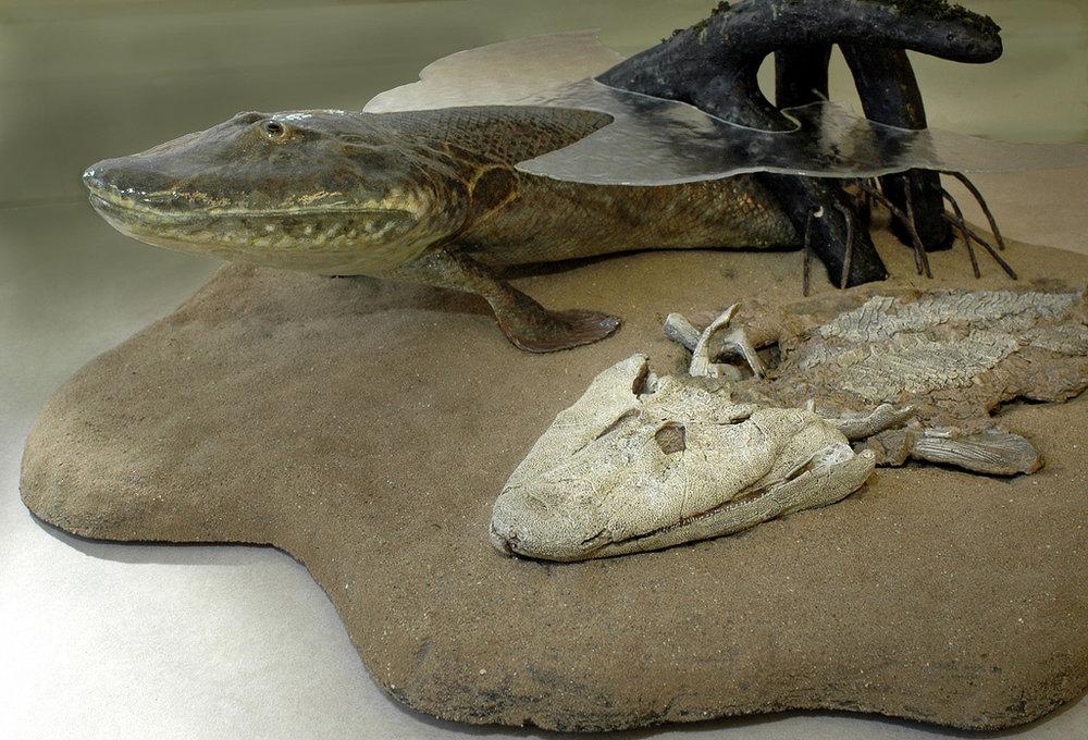 Het 375 miljoen jaar oude fossiel van de amfibie-achtige vis Tiktaalik (met reconstructie).