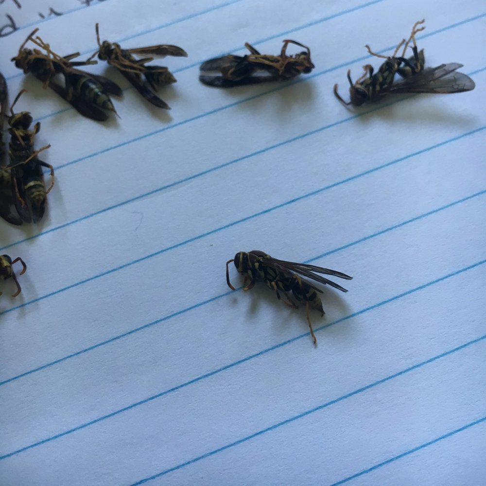 Wasps collected from the field.
