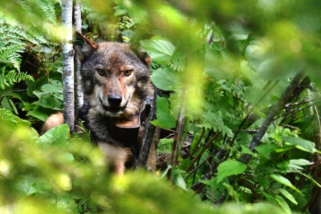 Radio collared wolf.