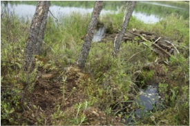 A picture of a wolf bed where the wolf appeared to have curled up right next to this active beaver lodge. The bed is in the lower right corner.