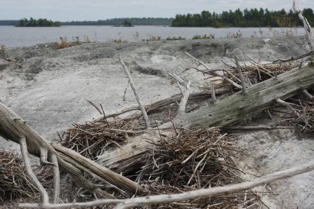 Cormorant nests. Kat Audette-Luebke